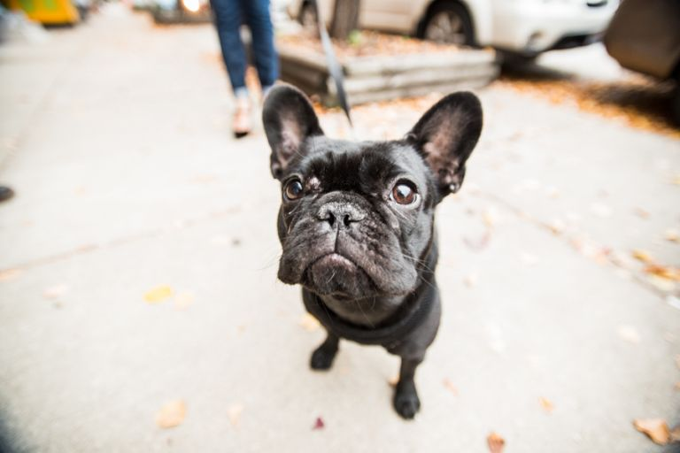 Nori the French Bulldog poses in Fells Point during Mary and Adam's engagement session with Ben Lau.