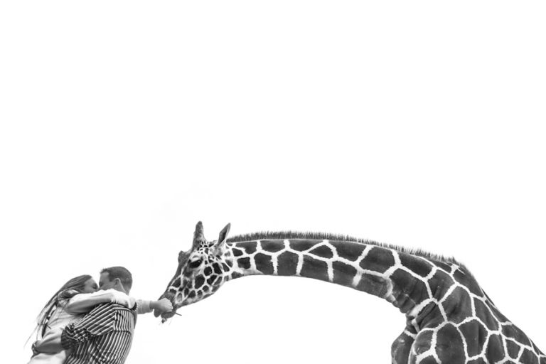 Couple feeds giraffe during engagement session. Captured by northern NJ Wedding photographer Ben Lau.